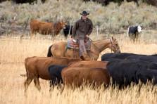 c lazy u cattle_pushing-223x148